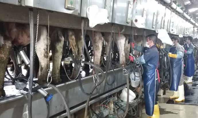 شکوفایی صنعت شیر و دام کنگاور پس از ربع قرن فعالیت