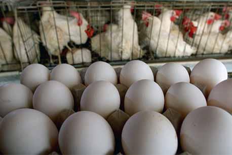 شگردهای افزایش تخم گذاری مرغ