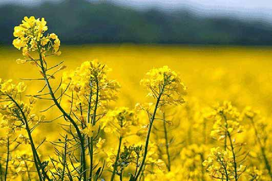 نتایج مطلوب اولین سال تجربه کشاورزی قراردادی در دانههای روغنی