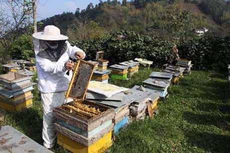 وجود ۱۳۵ هزار کلنی زنبور عسل در استان مرکزی