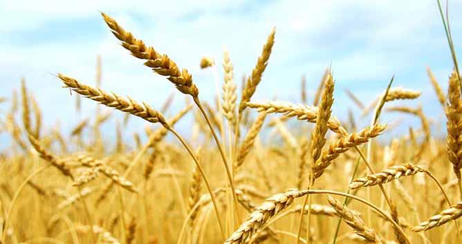 گندمی که برای دامها نان شد
