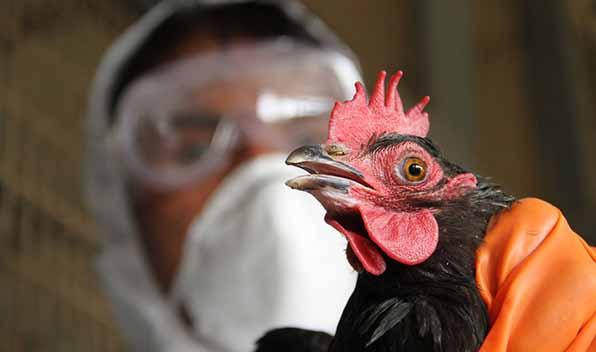 آنفولانزای مرغی و صنعت مرغداری جهان