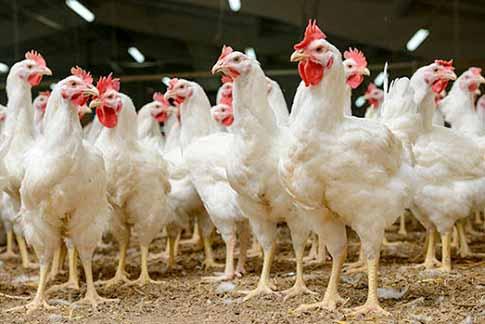از پرورش مرغ اجداد در همدان تا صادرات پای مرغ