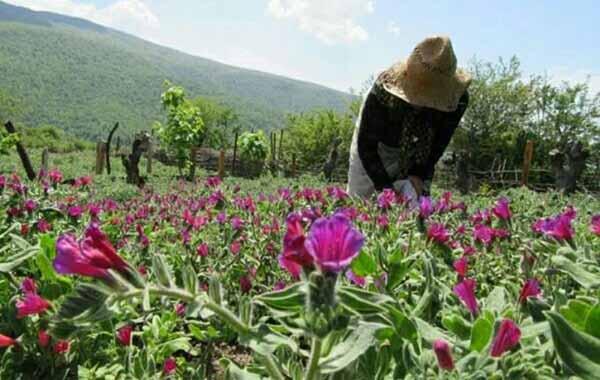 توسعۀ کشت گیاهان داروئی از جمله راهکارهای مقابله با کم آبی در استان زنجان