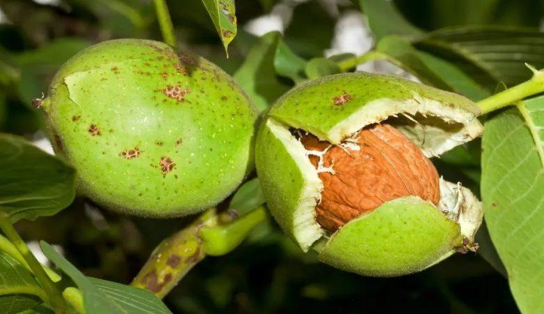 علت ریزش گل و میوه گردو