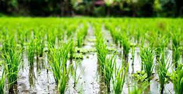 کشت برنج پرمحصول در مازندران حدود ۴۰ درصد افزایش یافت