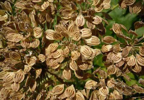 گلپر گیاهی ناشناخته و پر خواص در مهریز یزد
