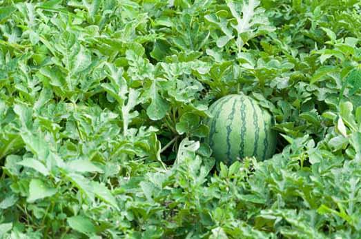 برداشت هندوانه در گیلان