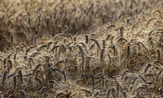 تاثیر منفی خشکسالی بر تولید گندم در استان مرکزی