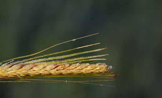 توصيه های هواشناسی کشاورزی از تاريخ 27 تیر لغايت 30 تیر 1400