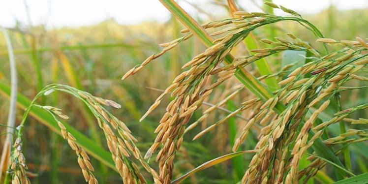جذابیت کشت برنج برای خوزستانی ها