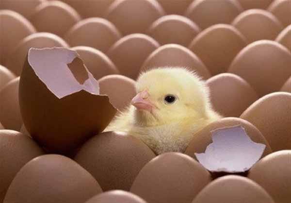 جوجه کشی از انواع نژادهای مرغ