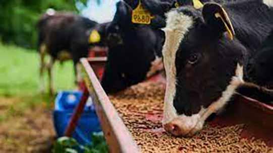 گرانی خوراک دام پاشنه آشیل بالا رفتن قیمت محصولات پروتئینی