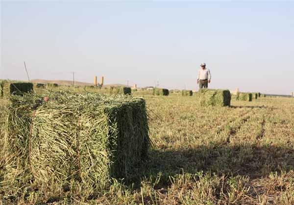 خشکسالی تولید علوفه کشور را ۴.۵ میلیون تن کاهش داد