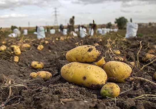 سیب زمینیهایی که سازمان تعاون روستایی خرید، خوراک دام شد
