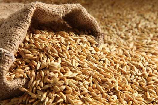قم، برترین استان در زمینه تولید بذر جو در کشور