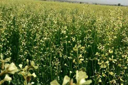 مَنداب، گیاه علوفهای سازگار با اقلیم کویری بافق