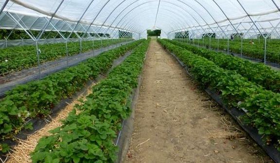 برداشت محصولات گلخانهای در هرمزگان آغاز شد