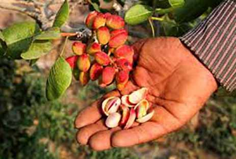 9 محصول بخش کشاورزی استان سمنان