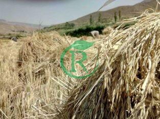 برنج شمال