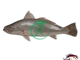 ماهی بندر – فروش آنلاین ماهی ، میگو و آبزیان صادرات