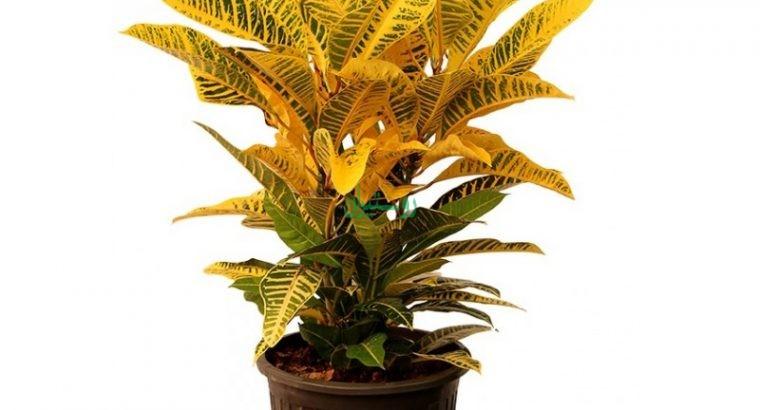 گیاهان آپارتمانی پارسی گل