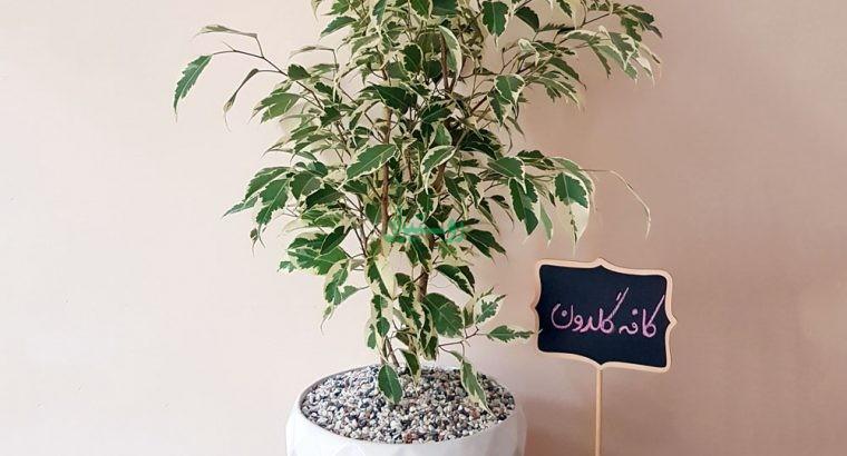گیاهان آپارتمانی کافه گلدان