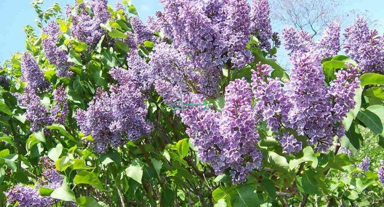 گل ها و گیاهان فضای باز رام گل