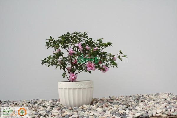 گیاهان فضای باز باغ گل رضوان