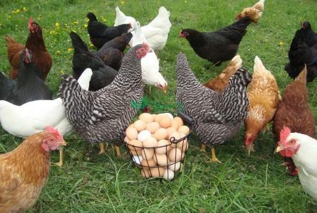 مرغ بومی در رویان طیور