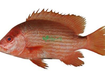 فروش و ارسال صید ماهی در بندرماهی