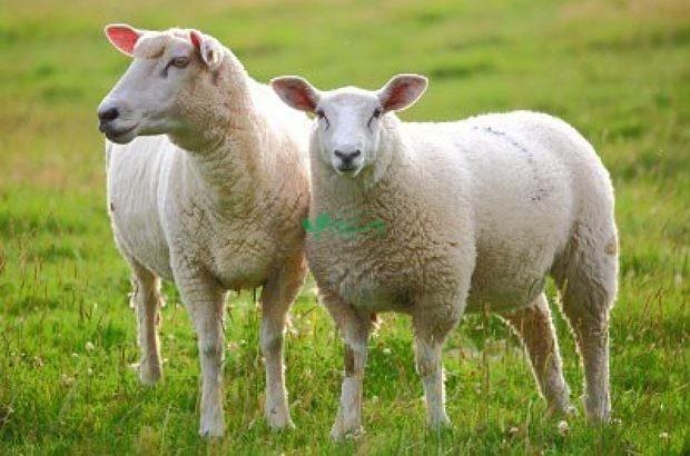 دام قائم سایت عرضه کننده گوسفند زنده در تهران