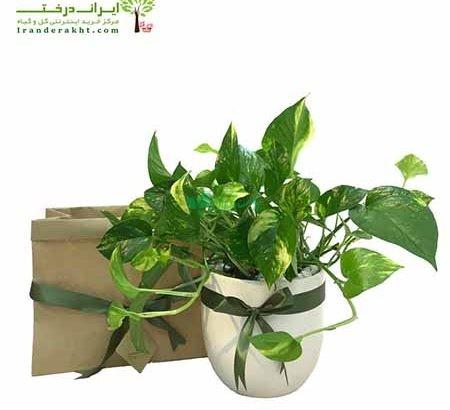 گیاهان آپارتمانی ایران دخت