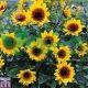 بذر گل پوپونیک