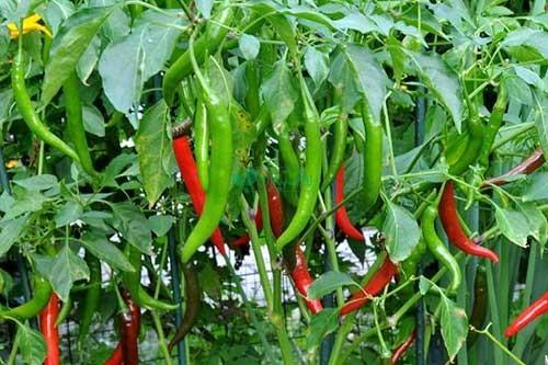 نشاء گیاهان شرکت تجارت سبز آبان