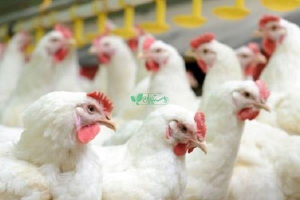 تولید جوجه یک روزه تخم گذار