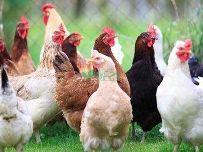 دهکده مرغ