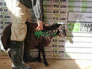 گوسفند زنده بی واسطه از دامداری دام کالا
