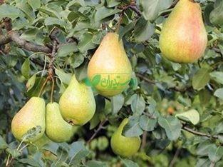نهالستان آذر سبز