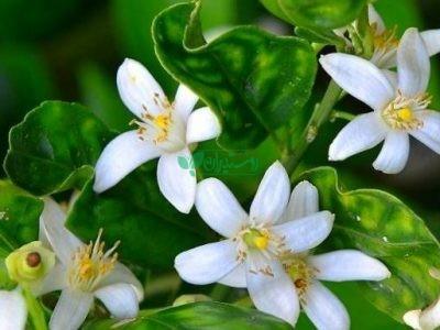 گیاهان دارویی شرکت سبزینه دشت قائم