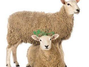 مجموعه بازار گوسفند