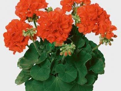 گل و گیاهان آپارتمانی دمبرگ